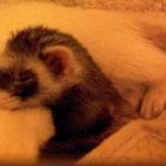 Sleepy time ferret . . .
